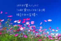 秋の行楽イメージ(コスモス)